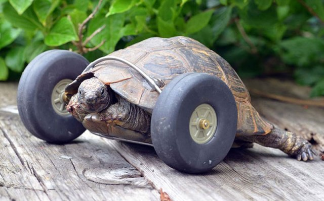 this-90-year-old-tortoise-lost-her-front-legs-so-her-owners-gave-her-a-new-set-of-wheels-3